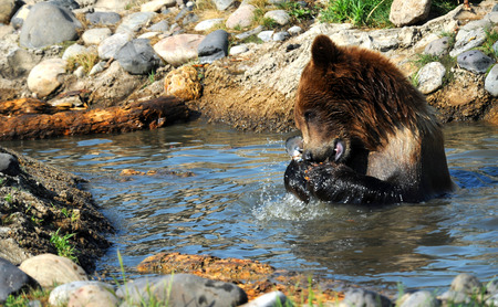 waist deep: Grizzly bear grips a fish with both paws as he tears it with his teeth.  He is sitting waist deep in water. Stock Photo