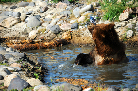 waist deep: Grizzly slings fish around in the air.  He is sitting in a pool of water waist deep.