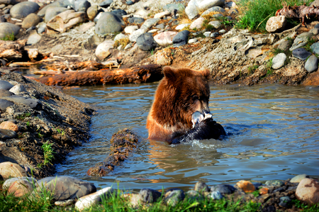 Grizzly bear sits in a pool of water eating a fish.  Rocks line pool.