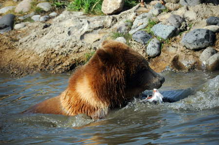 waist deep: Grizzly bear carries his catch, a salmon, to shore.  He is waist deep in a pool of water. Stock Photo