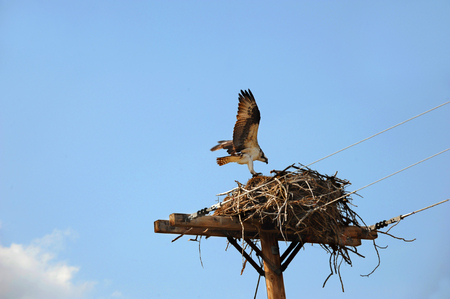Osprey lands on its nest.  Itis on the top of a telephone pole.  Blue sky in background. Stock Photo