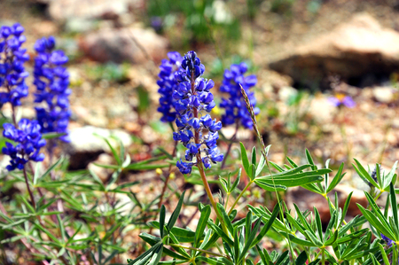 silvery: Closeup shows the purple blooms of Silvery Lupine on the rocky hillside of Beartooth Pass in Wyoming. Stock Photo