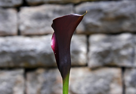 A single purple cala lilly blooms against the stone wall of the St. Elizabeths Catholic Church in Eureka Springs, Arkansas. Stock Photo