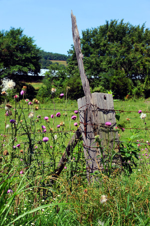 Thick, wooden fence post has huge rusty nail protruding and a stick.  Pink wildflowers called purple thistle grows in profusion around post. Stock Photo