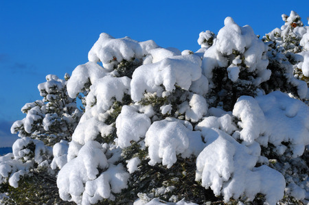 Background image of freshly fallen snow hanging from the branches of New Mexico fir trees.  Blue sky above. Stock Photo