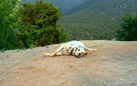 Dalmation rolls in the dirt determined to cover its spots.  Dog is looking at camera and lays on cliff edge in the Sandia Mountains in New Mexico. Banco de Imagens