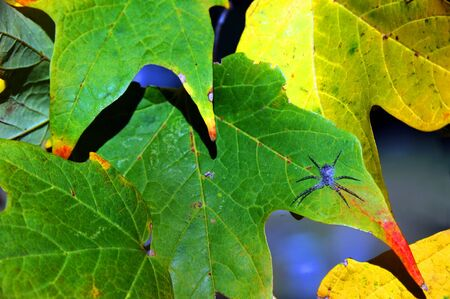 Autumn begins to turn the leaves yellow in Memphis, Tennessee.  A flat spider sits unmoved by the changes.