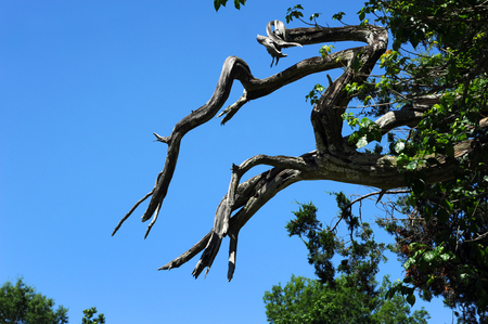 Twisted and gnarled, these dead and bare tree limbs reach toward a blue sky.