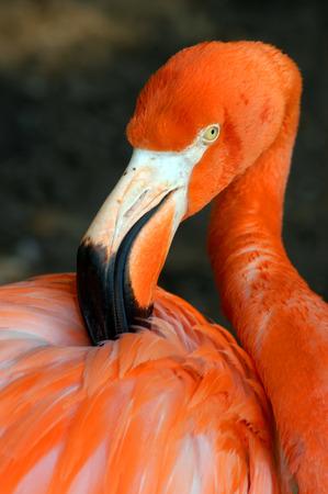 Flamingo ruffles his feathers with his beak as he preens.