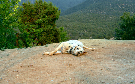 Dalmation rolls in the dirt determined to cover its' spots.  Dog is looking at camera and lays on cliff edge in the Sandia Mountains in New Mexico. Banco de Imagens - 95078812