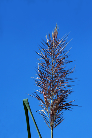 Beautiful Pampas Grass tassel is framed by blue sky at the Black Bayou Lake National Wildlife Refuge in Monroe, Louisiana.
