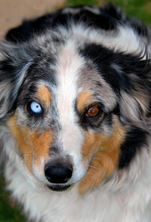 Australian Shepherd has a startling light blue eye and a brown eye.  Verigated and colored fur trims his face with brown, black and white. Фото со стока