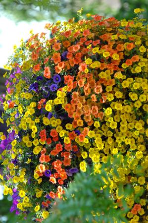 Background image shows a hanging basket of petunias.  They are thriving and spilling over the sides of the hanging pot.  Orange, yellow and purple mix.