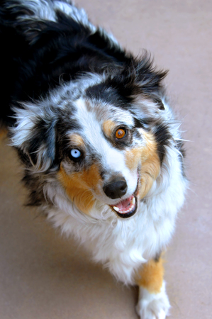 Australian Shepherd dog looks up with his two different colored eyes.  He has one blue eye and one brown. Stock Photo