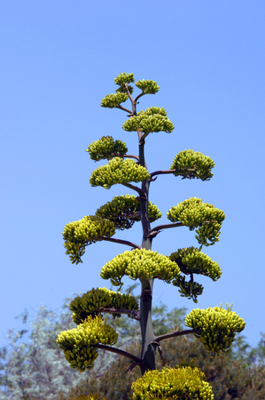 Agave, or Century Plant, only blooms toward the end of it life, which can be 10-30 years.  Tall shoot blooms. Banque d'images