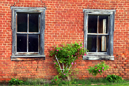 Pink roses grow on a white trellis in between two windows on a brick house.  Windows are faded and weathered and brick is cracked and old.