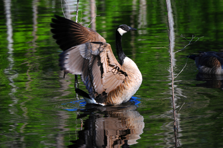 Wild Canadian Goose raises its body and flaps its wings preparing for flight.  Green forest is reflected in the water as well as birds body. Banco de Imagens