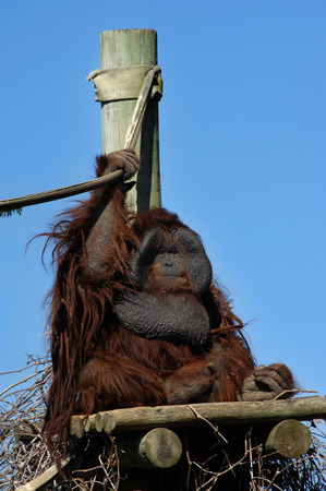 Orangatang perches on his platform and holds his rope security.  Rustic wooden planks support his massive weight.