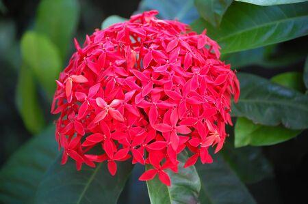 Cluster of beautiful Red Santan flowers bloom in lush foliage on the Island of Kauai, Hawaii.