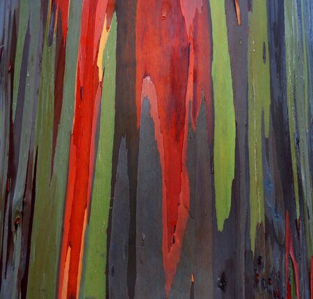Rainbow Eucalyptus trees shed their bark in patches at different time of the year and thus produce this beautiful patchwork coloring. Closeup image.