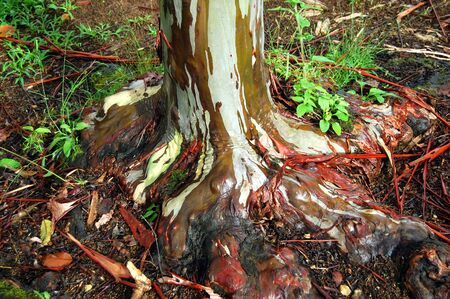 Rainbow Eucalyptus Tree, on Kauai, Hawaii, sheds strips of bark at different times of the year.  Its coloration, knobby roots and wrinkles at base of tree are fascinating.