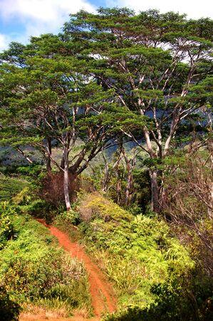 Kalalau Trail disappears into the dense foliage on the Island of Kauai, Hawaii.