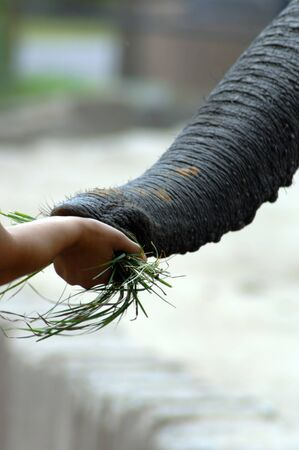 Closeup of an elephant's trunk as it reaches toward a hand holding grass.