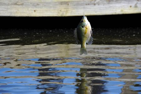 Hand-sized bream is caught and dangling on a fishing line.  Dock is in background.