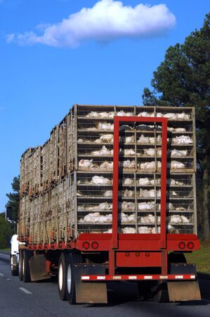 Eighteen Wheeler hauls its latest catch, a batch of chickens from a chicken farm.  You can see the chickens laying in metal cages.