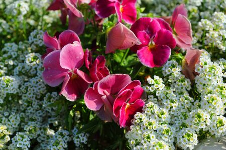 Flower bed yields beautiful blooms in pink and white.  Photo shows a closeup of the flowers.