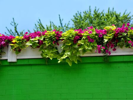 Pentunias bloom in a riot of bright pink on a brilliant green, brick wall.
