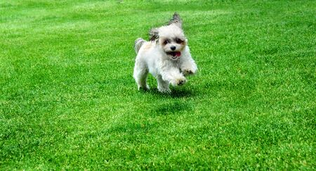 Energetic little Shih Poo runs around the yard with her tongue hanging out.