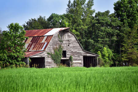 Rusting roof, weeds, and faded and broken boards, but this big barn still stands.  Green field fronts barn.
