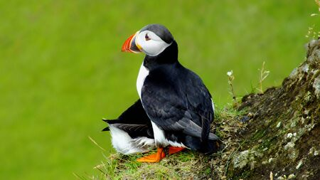 Puffins in love photo