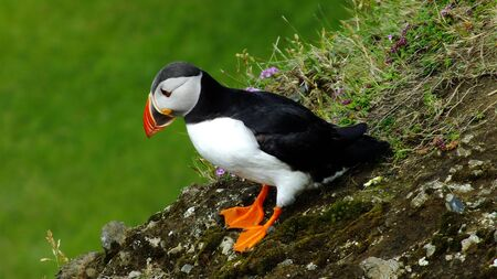 puffin: Icelandic puffin Stock Photo