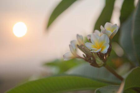 Plumeria flowers Banco de Imagens - 83744432