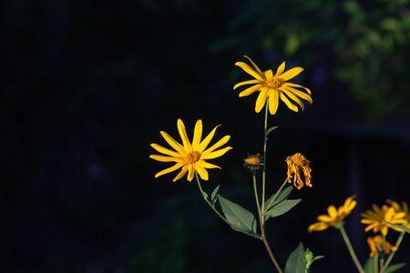 Yellow flower on a black background Banco de Imagens - 83744434
