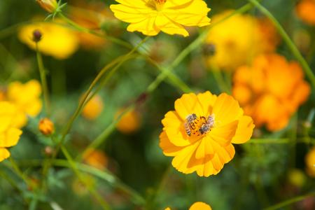 A bee in the flowers in the garden. Banco de Imagens - 83744220