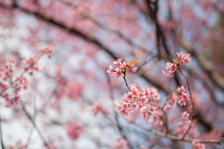 Prunus Cerasoides Banco de Imagens - 83848593