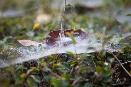 Cobweb in the lawn
