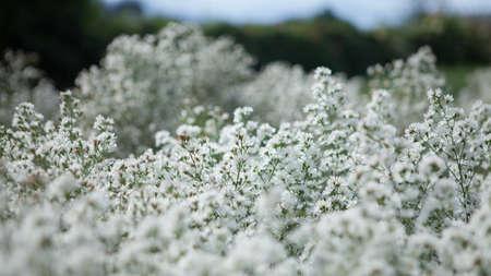 Natural white flowers in the flower garden.