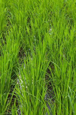 Seedlings of rice Banco de Imagens