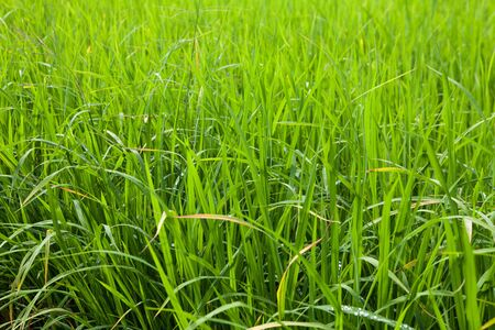Green  Rice Field close-up Banco de Imagens