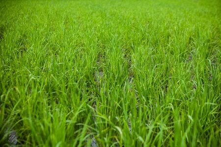 Green  Rice Field close-up Banco de Imagens - 86110550