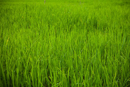 Green  Rice Field close-up Banco de Imagens - 86045870