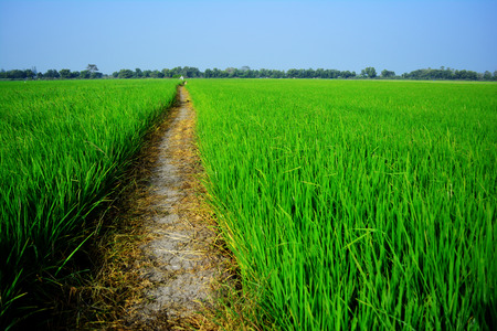 champ de mais: Champ de maïs vert, Thaïlande.