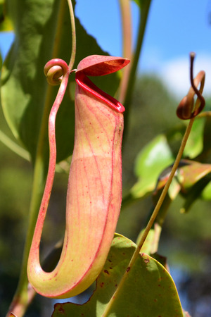 nepenthes: Nepenthes.
