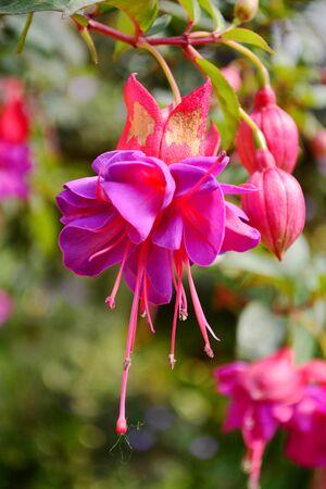 fuchsia: Purple and red fuchsia flower.