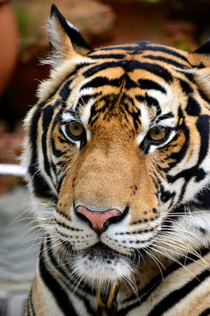 tigresa: Tigre. Foto de archivo