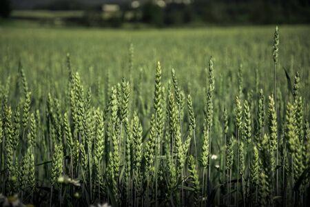 Green wheat field. Reklamní fotografie